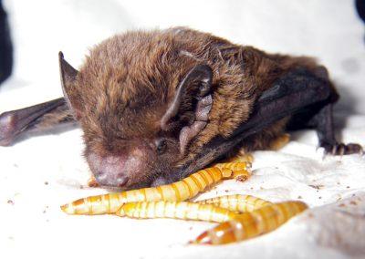 bat-feeding-4